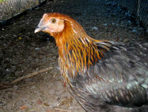 Experimental Farm chicken 2, Denise Deby