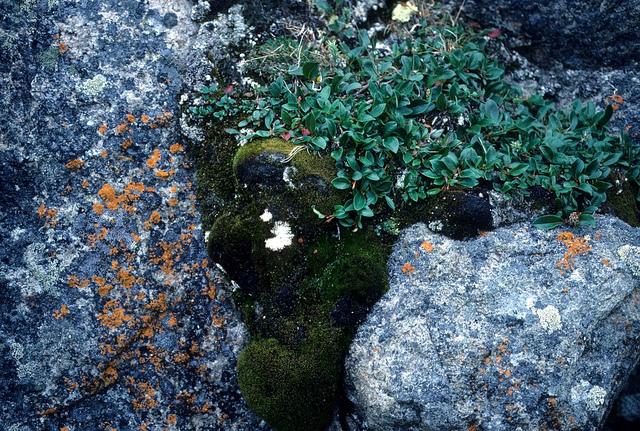 Arctic vegetation photo by Derek Keats, Flickr Creative Commons http://www.flickr.com/photos/dkeats/6813196445/