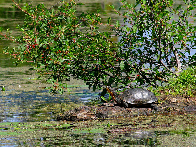 """Blandings Turtle at Mud Lake"" by greencolander (Michelle Tribe) on Flickr Creative Commons http://www.flickr.com/photos/greencolander/2672459266/"