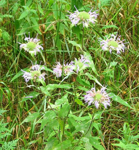 Wild Bergamot, Ottawa photo by D. Gordon E. Robertson, Wikimedia Commons
