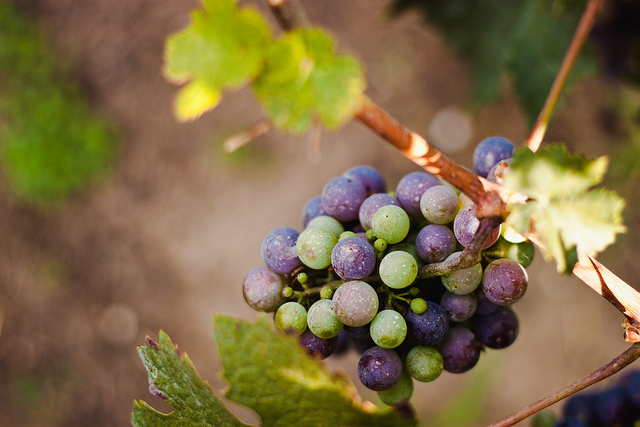 Grapes by Sharon Drummond, Flickr Creative Commons Attribution-NonCommercial-ShareAlike 2.0 Generic http://www.flickr.com/photos/dolmansaxlil/6088974704/