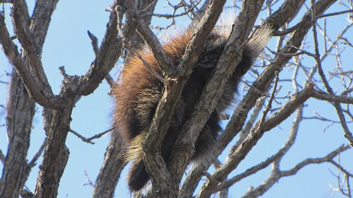 North American Porcupine, sleeping in tree, Ottawa, Ontario photo by D. Gordon E. Robertson http://en.wikipedia.org/wiki/File:North_American_Porcupine,_sleeping_in_tree.jpg on Wikimedia Creative Commons Attribution-Share Alike 3.0 Unported