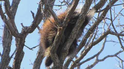 North American Porcupine, sleeping in tree, Ottawa, Ontario photo by D. Gordon E. Robertson http://en.wikipedia.org/wiki/File:North_American_Porcupine,_sleeping_in_tree.jpg on Wikimedia Creative Commons Attribution-Share Alike 3.0 Unported