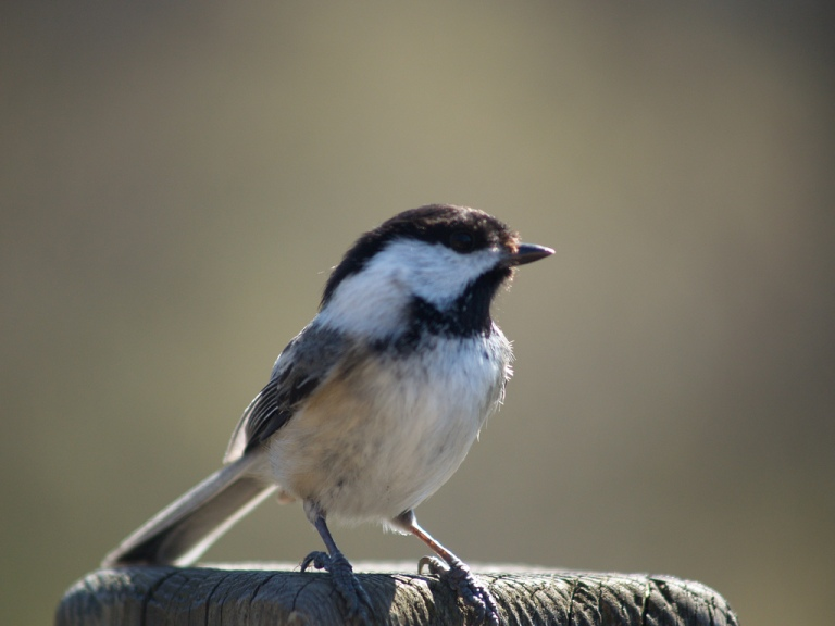 Chickadee - Beaver Trail - NCC - Ottawa, Ontario by Catherine Bulinksi on Flickr Creative Commons Attribution-NoDerivs 2.0 Generic http://www.flickr.com/photos/kasiaflickr/4544426239/