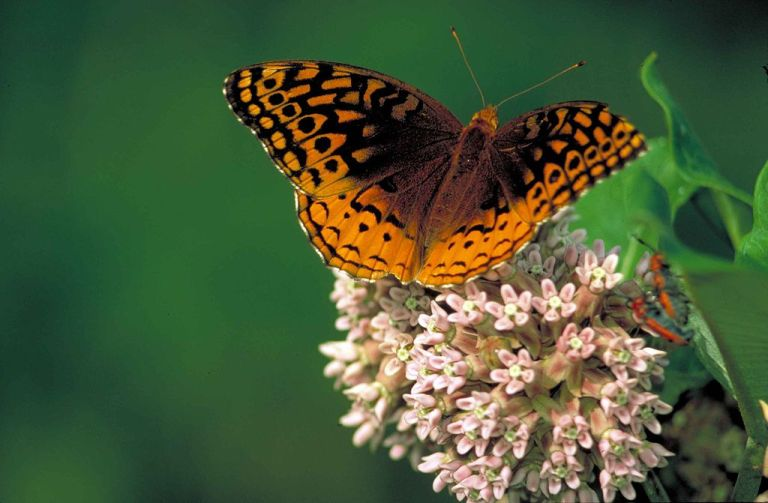 Great spangled fritillary on common milkweed butterfly speyeria cybele. Credit: Dr. Thomas G. Barnes/USFWS http://commons.wikimedia.org/wiki/File:Great_spangled_fritillary_on_common_milkweed_butterfly_speyeria_cybele.jpg