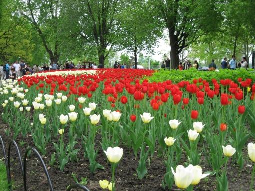 Ottawa tulips - D. Deby
