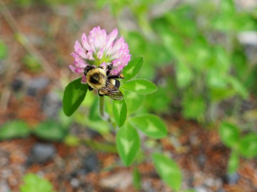 Bumblebee photo by Mireille Gauthier (used with permission)